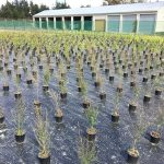 manuka-group-supports-iwi-nursery-initiative-3